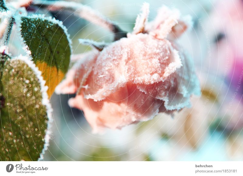 frost work Nature Plant Winter Ice Frost Snow Snowfall Flower Rose Leaf Blossom Garden Park Meadow Blossoming Fragrance Freeze Faded Beautiful Cold