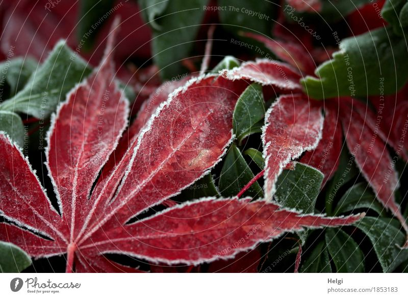 Nature Plant Green White Red Leaf Calm Environment Cold Life Autumn Natural Garden Gray Lie Ice