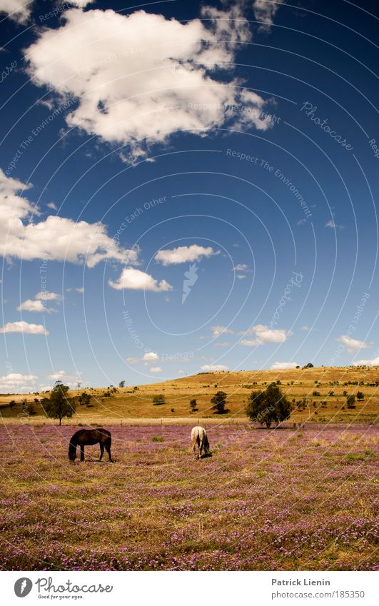 really kitschy! Landscape Air Sky Clouds Beautiful weather Plant Blossom Meadow Hill Animal Horse 2 Animal family Kitsch Australia Blue Blue sky Warm colour