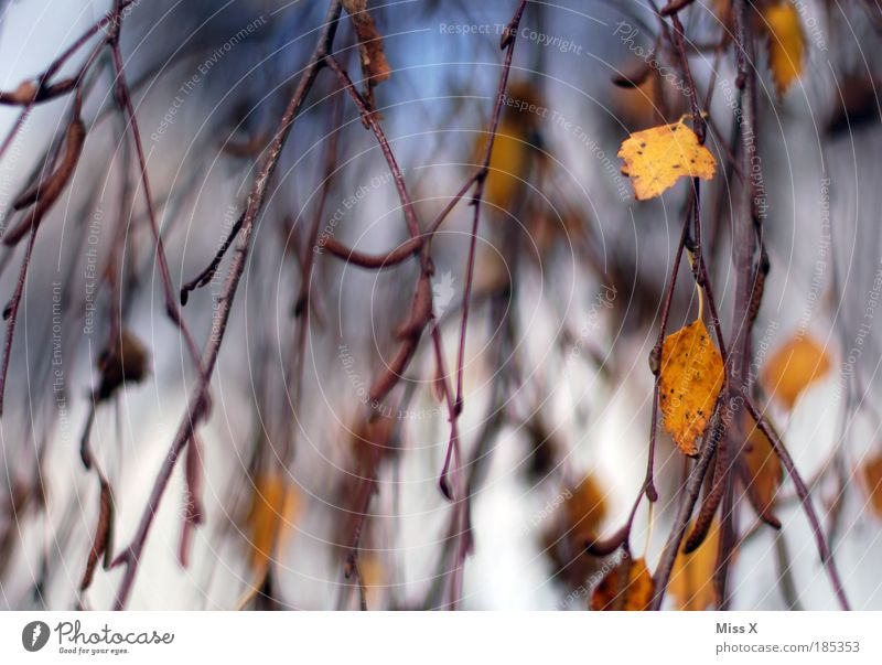 Sky Nature Tree Leaf Environment Autumn Movement Park Wind Blow Waterfall Autumnal Twigs and branches Birch tree Hissing