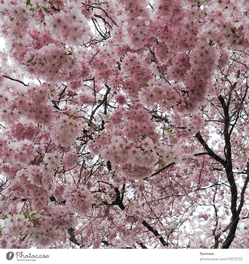 cotton candy tree Environment Nature Pink Almond blossom Almond tree Tree Branch Blossom Blossom leave Twigs and branches Colour photo Exterior shot Close-up