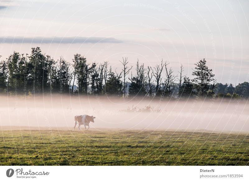 Green White Tree Landscape Yellow Autumn Meadow Weather Fog Pasture Cow Mecklenburg-Western Pomerania Farm animal