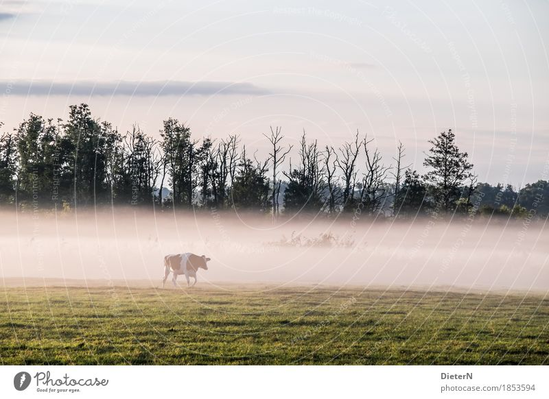 wafts of mist Landscape Autumn Weather Fog Tree Meadow Yellow Green White Mecklenburg-Western Pomerania Cow Farm animal Pasture Colour photo Subdued colour