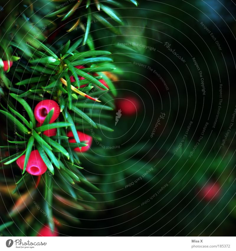 Nature Beautiful Tree Plant Red Leaf Autumn Park Small Bushes Sphere Berries Poison Hedge Thorny Fir needle
