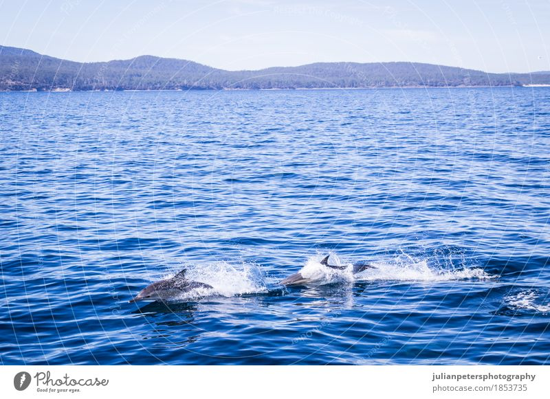 Dolphins jumping at Maria Island Happy Beautiful Life Playing Tourism Cruise Summer Beach Ocean Group Nature Animal Sand Coast Ferry Wild animal