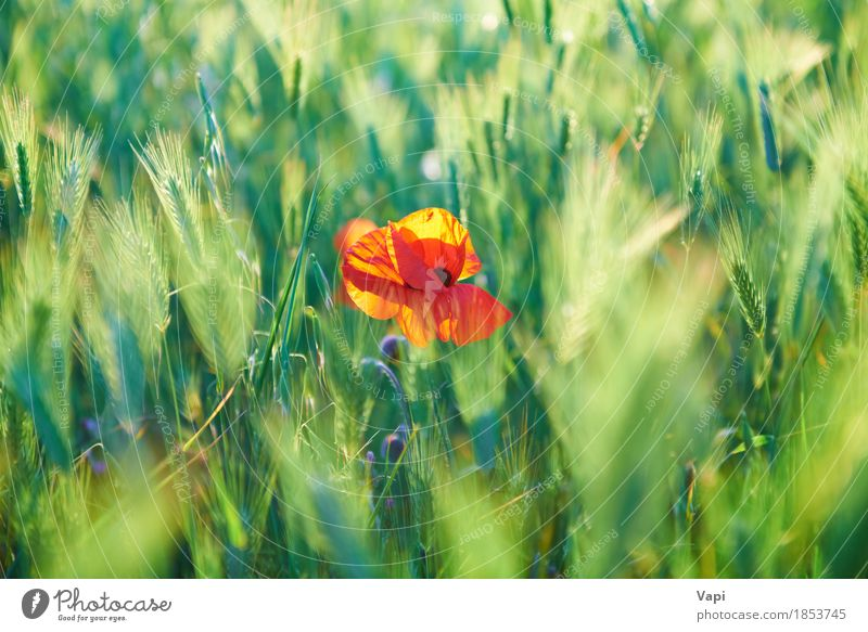 Red poppy on the green field Summer Sun Environment Nature Landscape Plant Weather Beautiful weather Flower Grass Leaf Blossom Wild plant Garden Park Meadow