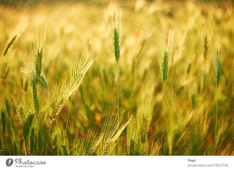 Field of grass on sunset Nature Plant Summer Green Sun Landscape Environment Yellow Meadow Grass Orange Bright Field Growth Gold Idyll