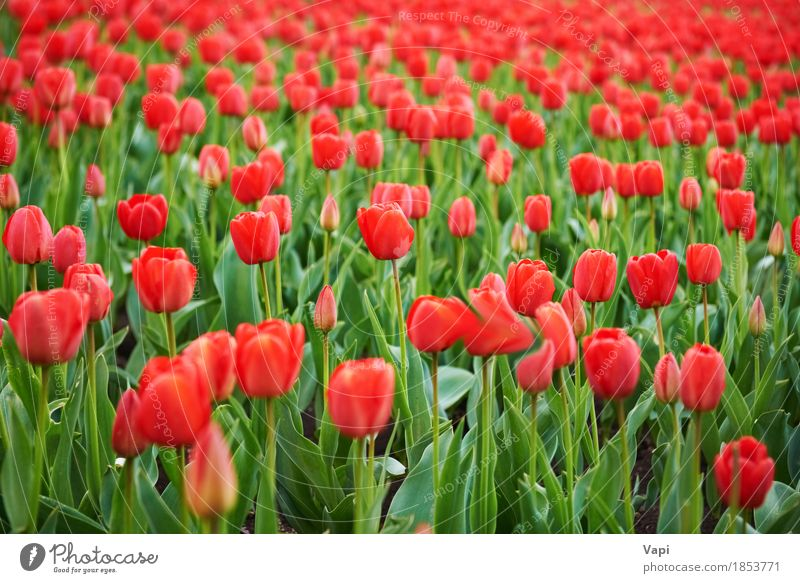 Field of beautiful red tulips Summer Garden Group Nature Landscape Plant Spring Flower Tulip Leaf Blossom Park Meadow Growth Bright Green Pink Red Colour Farm