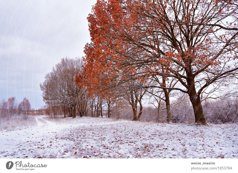 First snow in the autumn park. Fall colors on the trees Nature Plant White Tree Landscape Red Leaf Winter Forest Environment Yellow Autumn Natural Grass Snow