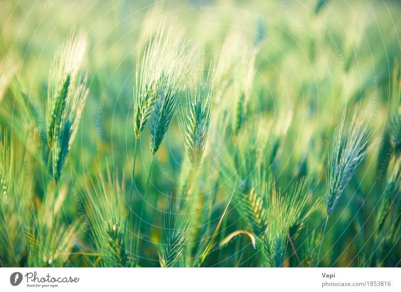 Field of grass on sunset Nature Plant Summer Green Sun Landscape Environment Yellow Spring Meadow Grass Bright Growth Gold Idyll