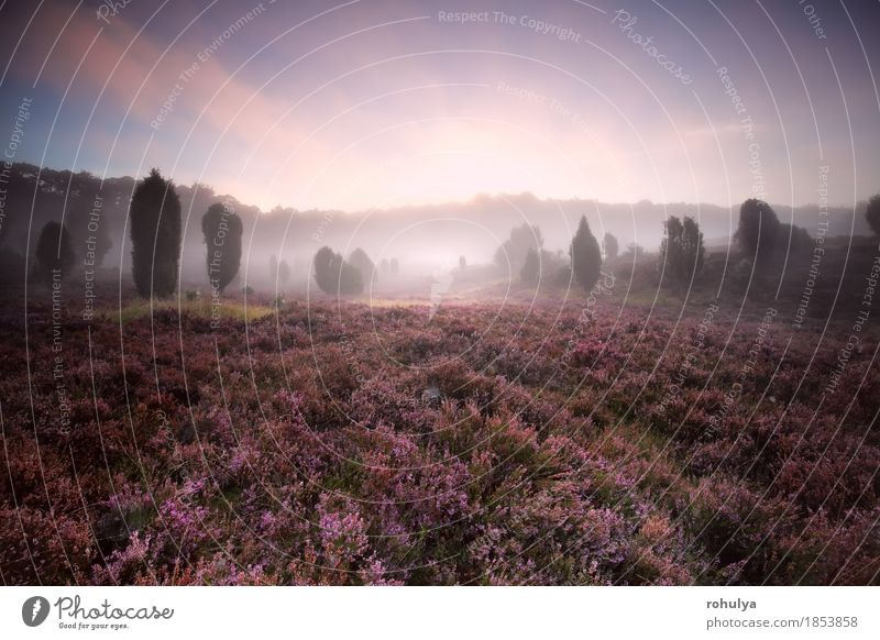 flowering heather during foggy sunrise Summer Nature Landscape Plant Sky Fog Tree Flower Blossom Meadow Forest Hill Wild Pink Serene Mountain heather Purple