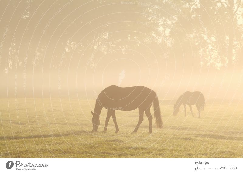 horses grazing on misty pasture at sunrise Summer Nature Landscape Animal Fog Grass Meadow Farm animal Horse To feed Serene Pasture Rural field