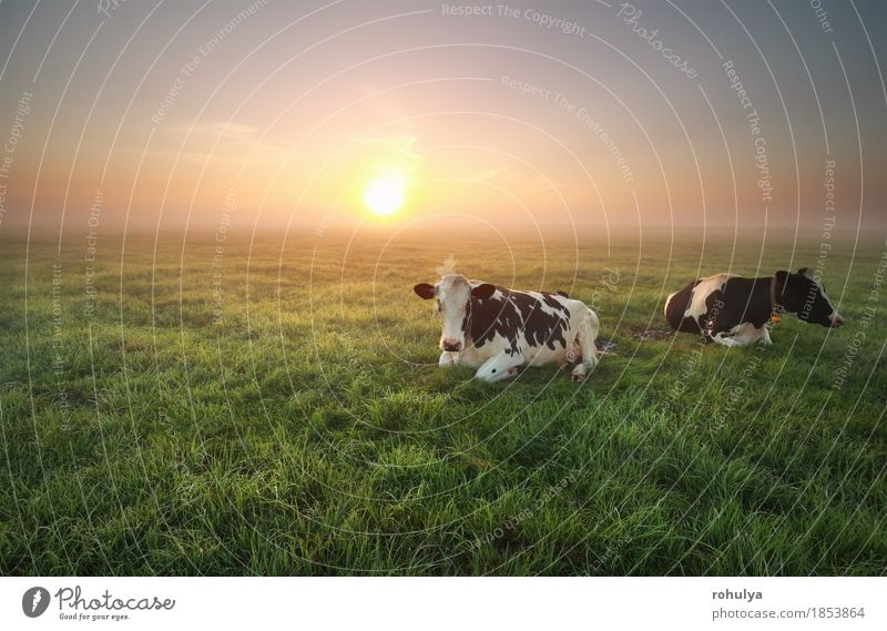 relaxed cows on pasture at sunrise Summer Sun Nature Landscape Animal Sky Fog Grass Meadow Farm animal Cow Green Serene Cattle Sunset Pasture Rural field gold