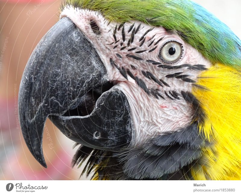 Portrait of a Yellow-chested Macaw Animal Bird Animal face Zoo Nature Curiosity yellow breast Parrots Tropical Looking into the camera Portrait photograph Beak