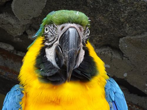 Yellow-chested macaw in portrait Bird Animal face 1 Friendliness Blue Colour photo Exterior shot Close-up Day Portrait photograph Animal portrait Front view