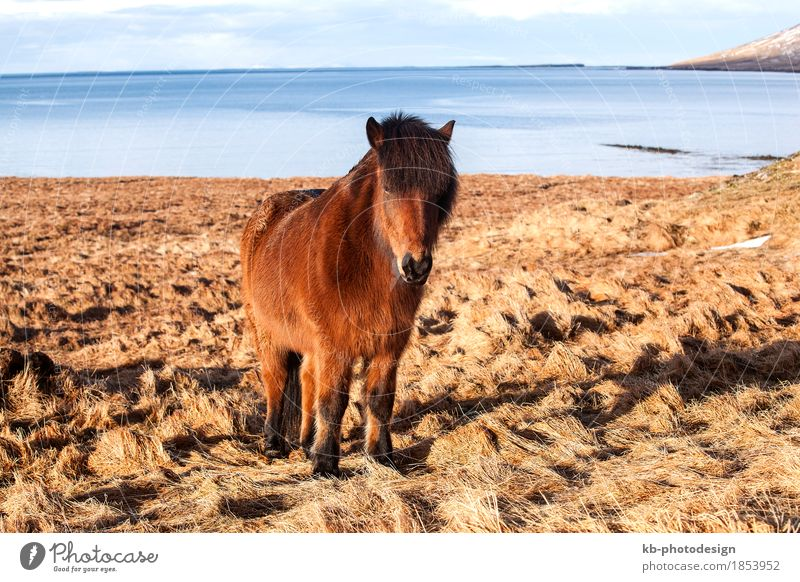 Brown Icelandic pony on a meadow in Iceland Ride Vacation & Travel Tourism Adventure Far-off places Winter Winter vacation Pet Horse 1 Animal Iceland pony