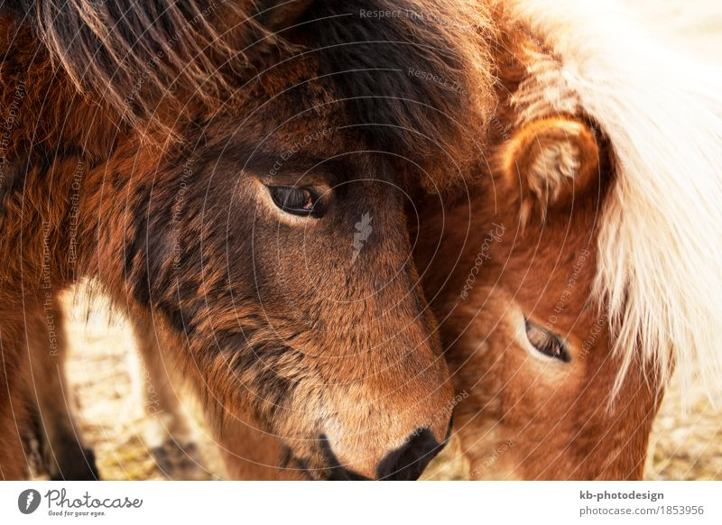Closeup of two brown Icelandic ponies Winter Pet Horse 2 Animal Vacation & Travel Iceland pony Iceland ponies Icelander mane Bangs ride horses mammal breeding