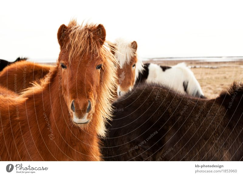Portrait of an Icelandic pony Ride Vacation & Travel Tourism Adventure Far-off places Winter Pet Horse 4 Animal Herd Iceland pony Iceland ponies brown mane