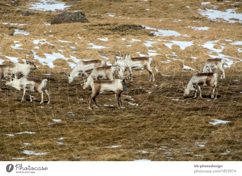 Herd of reindeer in Iceland in spring Vacation & Travel Tourism Adventure Far-off places Landscape Wild animal Reindeer Jump mammal free panorama wilderness