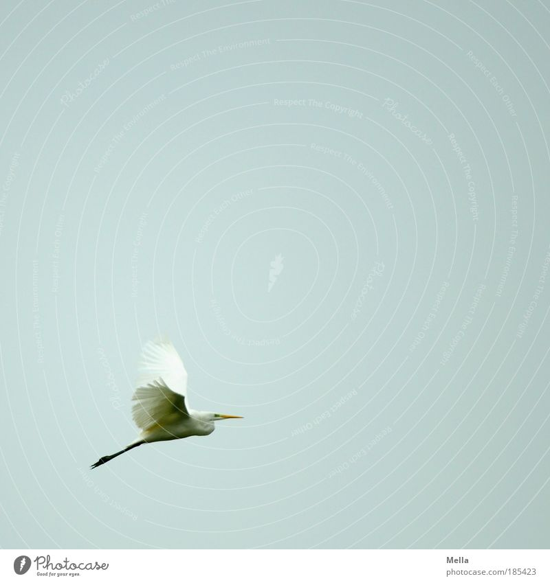 I believe I can fly Nature Animal Air Sky Bird Great egret 1 Flying Elegant Free Natural Gray White Moody Calm Longing Wanderlust Esthetic Movement Freedom Ease