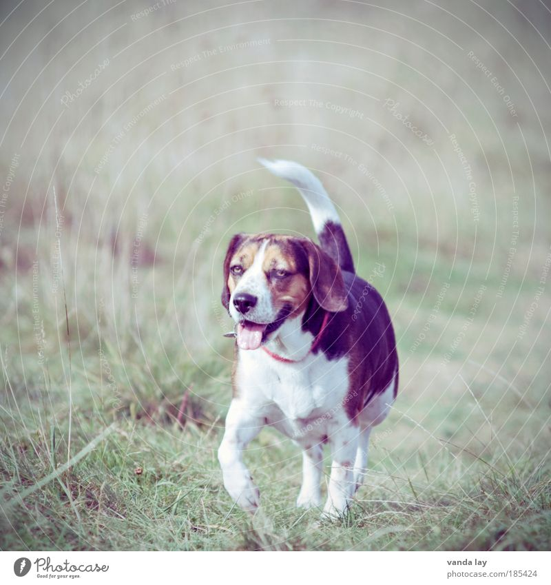 Nature Animal Life Meadow Dog Park Field Hiking Walking Environment To go for a walk Beautiful weather Pet Neckband Walk the dog Beagle