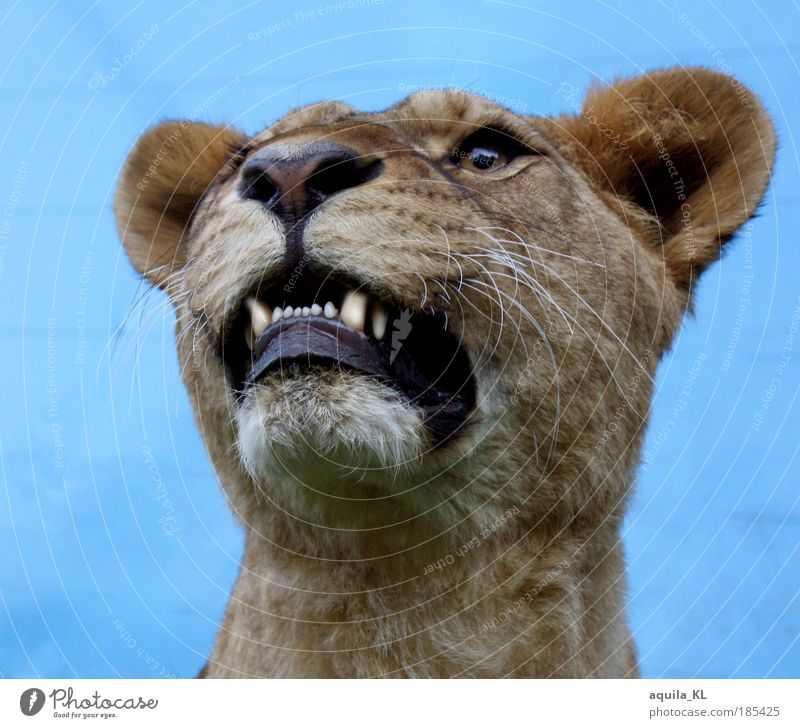real or fake... Wild animal Pelt Lioness Muzzle Fang Big cat Cat Ear Exterior shot Day
