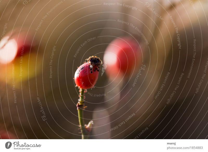 Nature Plant Autumn Illuminate Harvest Mature Thorny Medicinal plant Seed head Rose hip Vitamin-rich