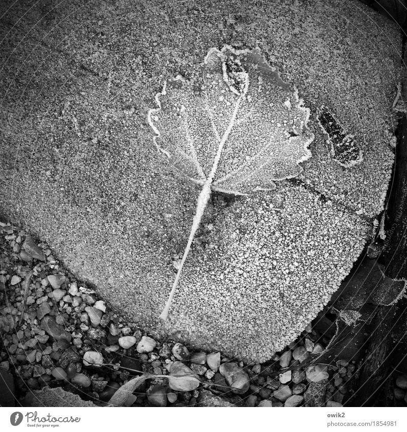 Grey Season Environment Nature Landscape Plant Winter Ice Frost Leaf Stone Freeze Lie Cold Patient Calm Loneliness Under Hoar frost frozen Pebble Camouflage