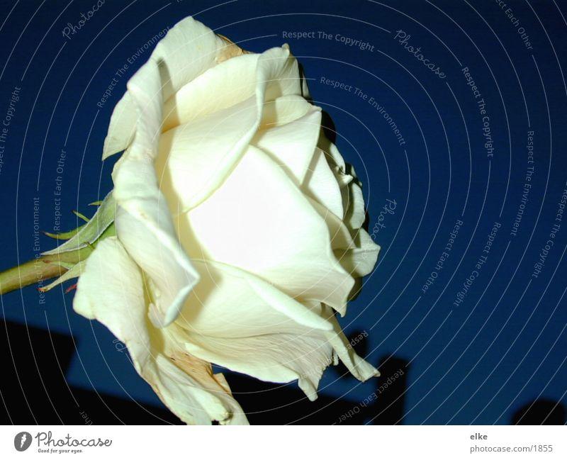 night rose Rose Plant Flower Nature