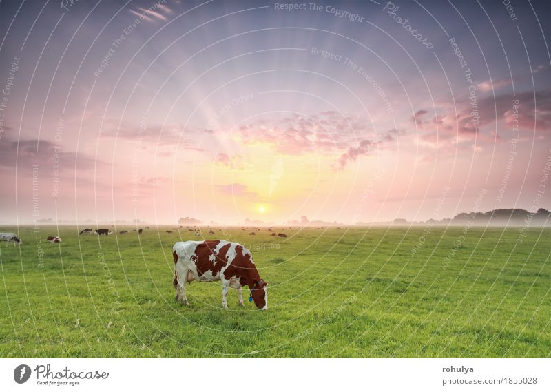 cow grazing on pasture at dramatic sunrise Summer Nature Landscape Animal Sky Fog Grass Meadow Farm animal Cow To feed Green Cattle Pasture Rural field beam