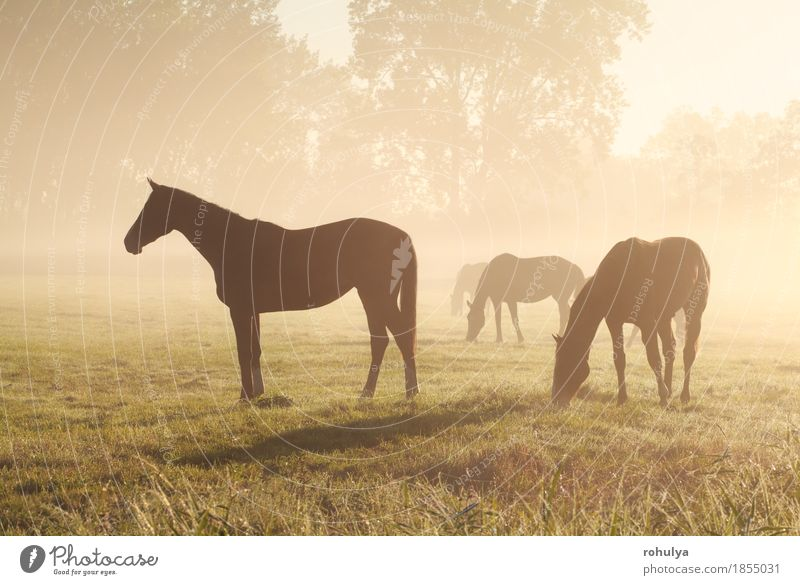few horse silhouettes grazing on pasture Nature Summer Landscape Animal Meadow Grass Fog Vantage point Seasons Pasture Horse Serene To feed Rural