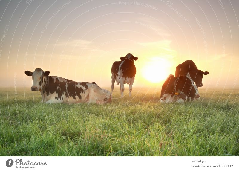 few cows on relaxed on pasture at sunrise Relaxation Summer Sun Nature Landscape Animal Sky Beautiful weather Fog Grass Meadow Farm animal Cow Sleep Blue Green