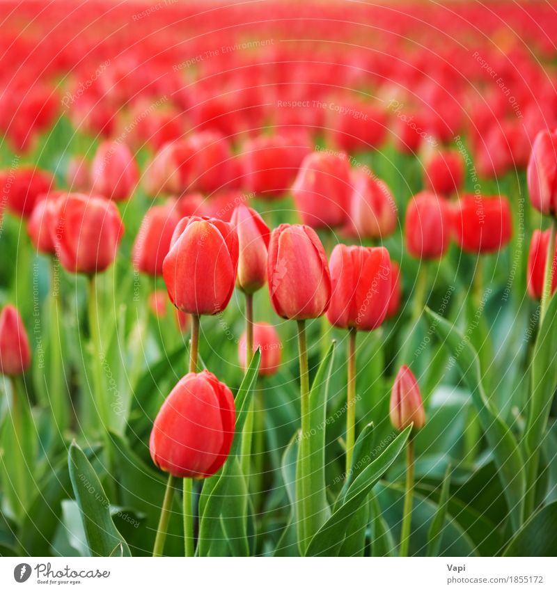 Field of beautiful red tulips Nature Vacation & Travel Plant Colour Summer Green Flower Landscape Red Leaf Blossom Spring Meadow Garden Group Pink