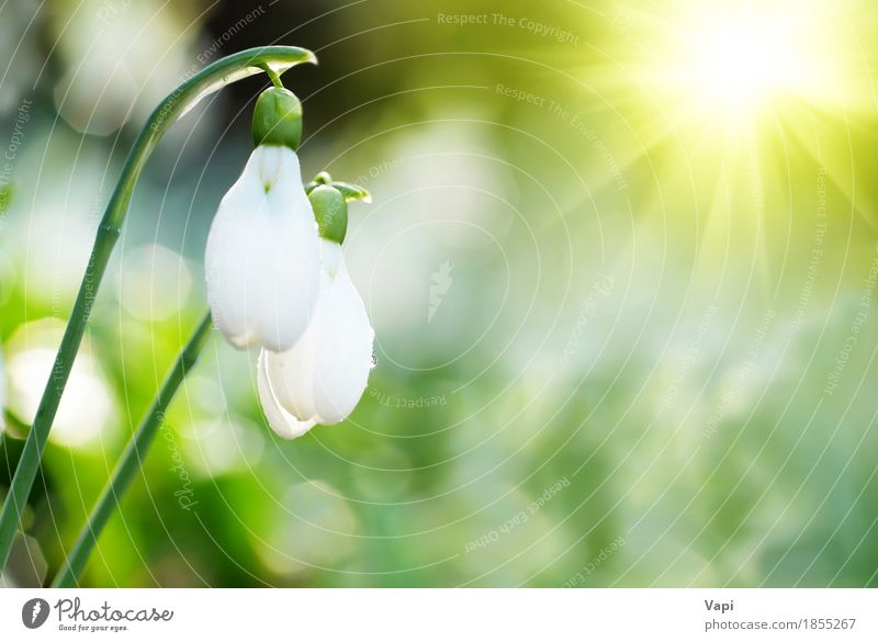 Snowdrop- spring white flowers Sun Winter Garden Group Environment Nature Landscape Plant Drops of water Sunrise Sunset Sunlight Spring Flower Grass Leaf