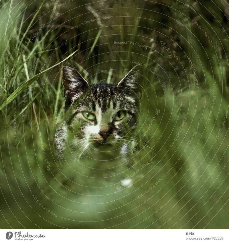 Cat Nature Green Beautiful Plant Summer Animal Environment Autumn Grass Wait Wild animal Bushes Observe Curiosity Animal face