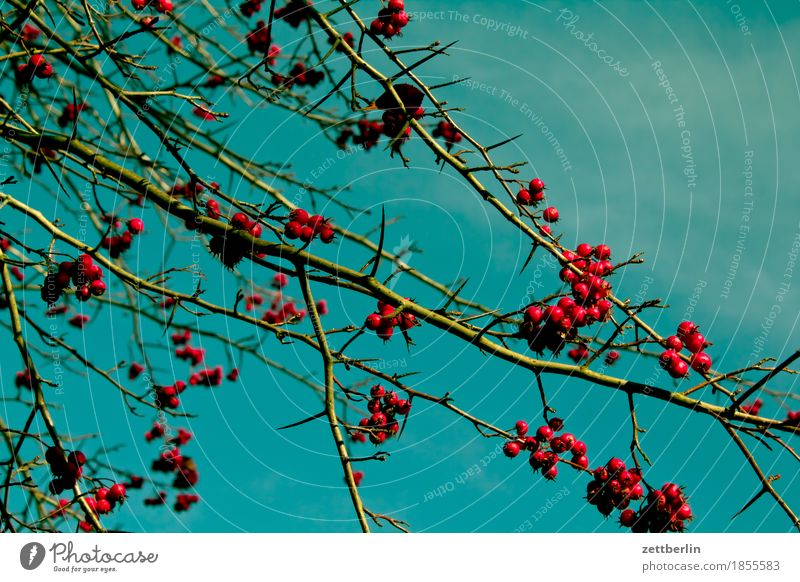 berries Berries Bushes Branch Twig Tree Plant Garden Park Rawanberry Fruit Harvest Autumn Sky Copy Space Deserted Red Cherry Ornamental cherry Juniper Nature