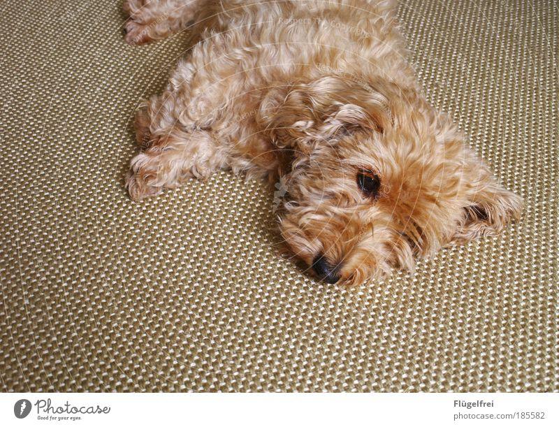 ball of fur on carpet Pet Dog 1 Animal Small Dachshund Cozy Adjustment Sleep Dream Harmonious Sweet Cute Relaxation Beige Dreamily Ground Carpet