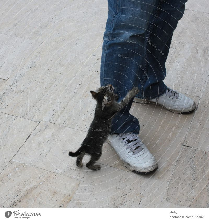 young kitten holds on to a man's leg in jeans and shoes Human being Masculine Legs Feet 1 Clothing Pants Footwear Sneakers Animal Pet Cat Baby animal Stone