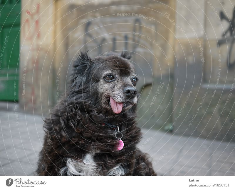 : P Animal Pet Dog 1 Old Sit Dream Hideous Town Brown Gray Authentic Modest Boredom Indifferent Senior citizen Contentment Relaxation Colour photo