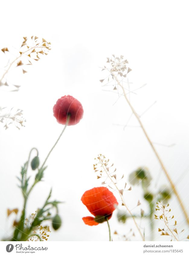 midsummer Plant Sunlight Spring Summer Blossom Meadow Esthetic Bright Red White Nature Growth Flower meadow Poppy Poppy blossom Grass Light Worm's-eye view