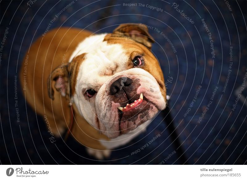 Dog Blue White Animal Brown Exceptional Sit Wait Observe Threat Uniqueness Desire Curiosity Mastiff Set of teeth Appetite