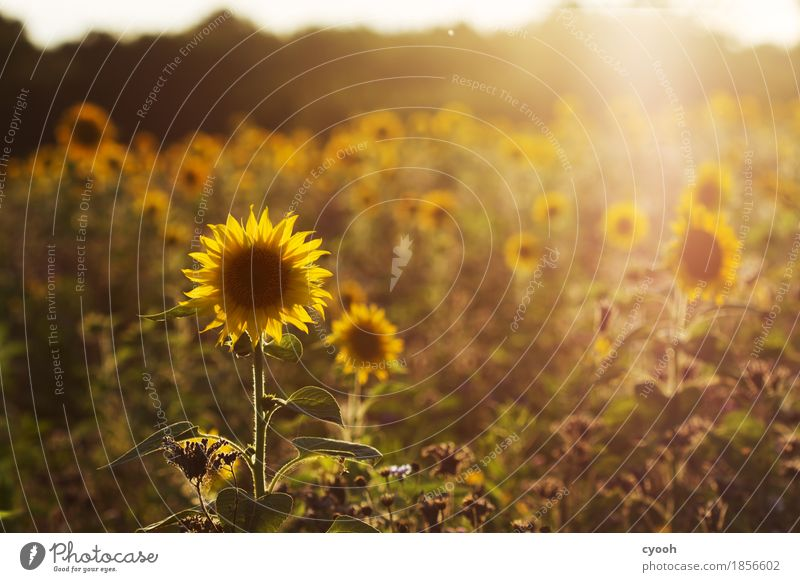 Nature Vacation & Travel Colour Summer Flower Landscape Relaxation Calm Warmth Yellow Blossom Time Freedom Moody Leisure and hobbies Contentment