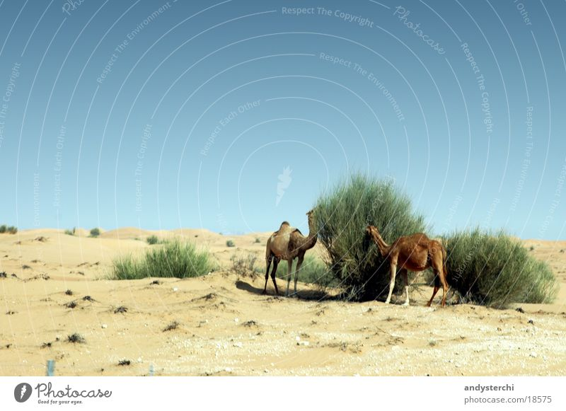 Rendezvous Vous Camel Dromedary Dubai To feed Feed Bushes Transport Desert Nutrition Sand
