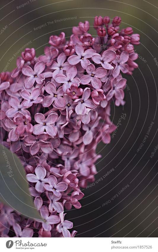 a sweet-scented lilac Syringa Lilac bush lilac blossoms Lilac scent syringa vulgaris spring awakening petals purple flowers spring feeling Ornamental plant