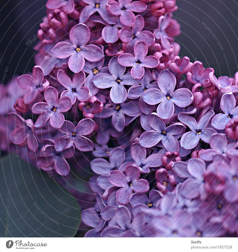 let it be spring lilac lilac blossoms Lilac bush Syringa Lilac scent ornamental shrub syringa vulgaris Romance Blossom heyday Spring flower Fragrance
