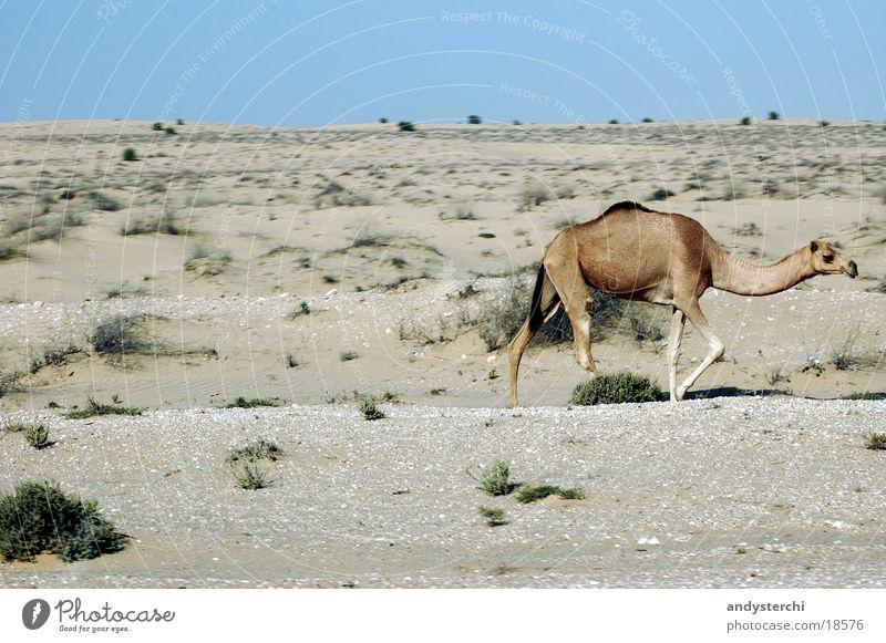 Free-running camel Dromedary Camel Dubai Animal Hot Transport Wild animal Desert hatta Sand Beach dune
