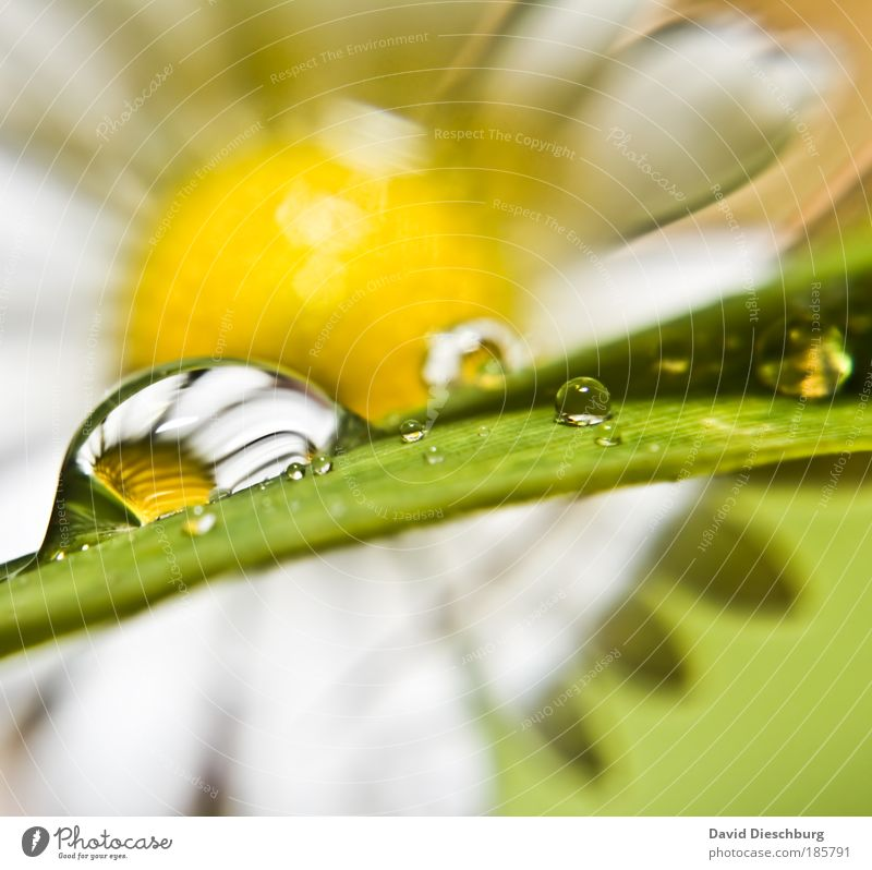 Tear of a Daisy Environment Nature Plant Drops of water Spring Summer Rain Flower Yellow Green Silver White Wet Uniqueness Blossom Dew Colour photo Close-up