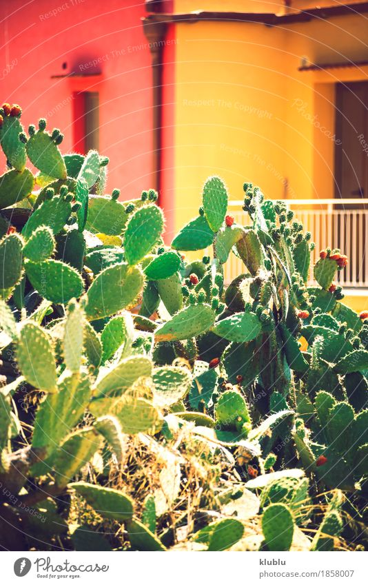 Prickly pears (Opuntia ficus-indica) Fruit Vegetarian diet Exotic Nature Plant Sky Tree Cactus Fresh Natural Juicy Thorny Yellow Green Red Colour Fig cactus