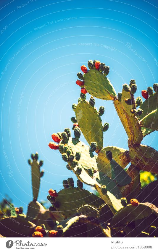 Prickly pears (Opuntia ficus-indica) Fruit Vegetarian diet Exotic Nature Plant Sky Cactus Fresh Natural Juicy Thorny Yellow Green Red Colour Fig cactus food