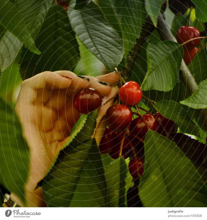 Nature Hand Green Tree Red Summer Leaf Nutrition Food Garden Healthy Fruit Natural Sweet Harvest Delicious